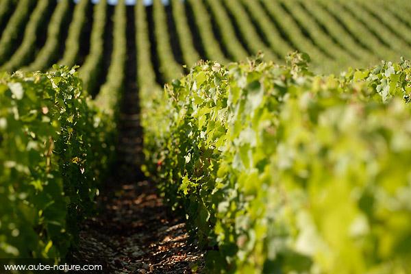 AUBE - Vignes, du côté de Celles-sur-Ource