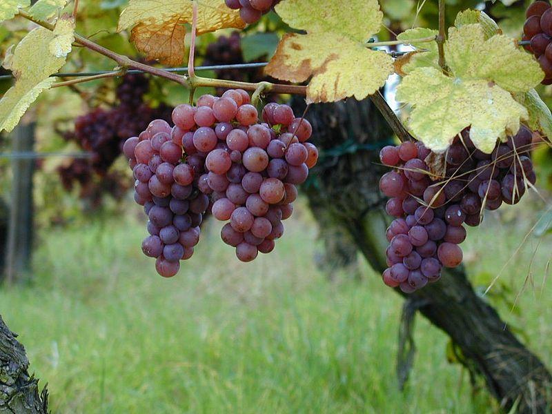 Production de vin du Champ Chapron